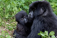 Mother Mountain gorilla (Gorilla beringei beringei) cuddling with baby, Virunga National Park, Rwanda