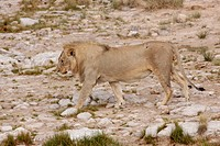 Lion (Panthera leo), male, Etosha National Park, Halali, Namibia