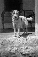 A little terrier in India
