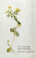 Botanical Sketchbook -- Hop Trefoil.