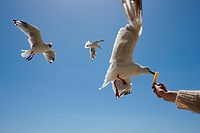 a seagul taking food out of a persons hand. - 22/01/2008
