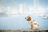 A cocker spaniel in the fog on False Creek in Vancouver, BC, Canada.
