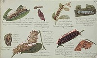 Plate 47 from Vol II Larvae and Pupae from North America, West Indies, Central America, Malaya, Java, Australia, Fiji Islands, New Zealand, France, Bu...