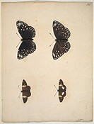 Plate from an album of unpublished watercolours of Lepidoptera by Eleazar Albin, 1720. Species depicted have not yet been identified.