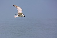 Gull-billed Tern (Gelochelidon nilotica) flying and searching for a prey. Laem Pak Bia. Petchaburi province. Thailand.