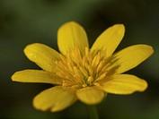 Yellow Buttercup blossom / Gelbe Hahnenfußblüte
