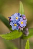 Alpine Forget-me-not, Myosotis alpestris / Alpen-Vergissmeinnicht, Myosotis alpestris