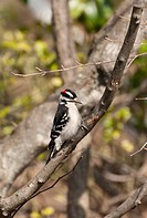 Image of a downy woodpecker pecking at a tree.