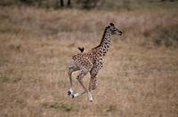 Masai Giraffe Baby Running (Giraffa camelopardalis) Masai Mara GR, Kenya
