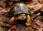 Eastern Box turtle (male) Terrapene carolina, Jefferson National Forest, Virginia