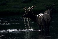 Back-lit male American Elk or Wapiti, Cervus canadensis, Yellowstone National Park, Wyoming, USA. Largest member of the deer family