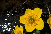 Sumpfdotterblume, marsh marigold, caltha palustris