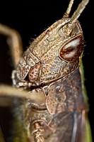 Chorthippus dorsatus, Steppe Grasshopper