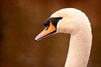 A portrait of a Mute Swan