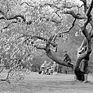 Large curving branches of a magnolia tree in bloom at Kew Gardens, with a small boy climbing on a branch with his mother beside him and three people s...