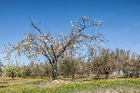 Blooming apple tree in front of an olive grove - 02/04/2012