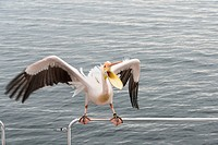 Great White Pelican (Pelecanus onocrotalus) on railing in Walvis Bay, Namibia