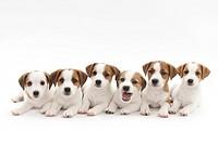Six puppies lying down