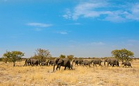 African elephants (Loxodonta africana), herd moving through dry grass, Etosha National Park, Namibia