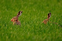 hares in high grass