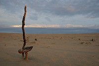 Root of an old dead tree with a Scurfy Deceiver on the Sand Drift