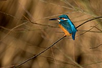 Common Kingfisher in bushes