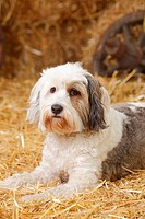 Tibetan Terrier lying at hay