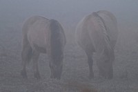 koniks horses in the fog
