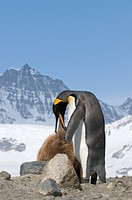 King Penguin feeding a young
