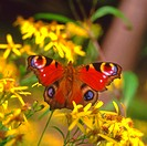 Peacock, Inachis io, on a Blossom