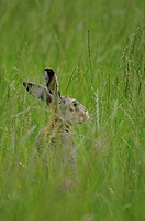 Hare perched in tall grass