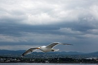 flying seagull over Oslo Fjord