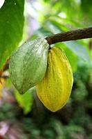 Ripening cocoa pods, East New Britain, Papua New Guinea.
