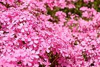 pink flowers in spring garden