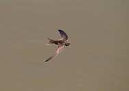 Common Swift (Apus apus) adult, in flight over water, Castilla y Leon, Spain, June
