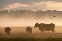 Domestic Cattle, cow and calves, silhouetted on coastal grazing marsh at sunrise, Elmley Marshes N.N.R., North Kent Marshes, Isle of Sheppey, Kent, En...