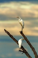 Two great egrets (Ardea alba) watching from a tree branch for some tasty fish below in the pond.