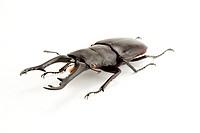 Stag Beetle, Beetle, Insect, Coleoptera, Prosopocoilus giraffa keisukei,