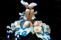 Harlequin Shrimp (Hymenocera elegans) at Seraya in Bali in Indonesia.
