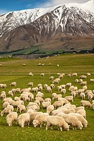 Pregnant ewe sheep grazing, spring growth under Mt Hutt Range, Rakaia river valley, Canterbury.