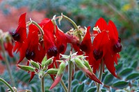 Australia, flowers, Millstream Chichester, national park, Sturt´s Desert Pea, Western Australia, red