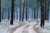 Frost in a pinewood in winter. Nieva village, in Segovia province. Spain.