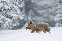 Wild Boar, Sus scrofa, Bavaria, Germany, Europe.