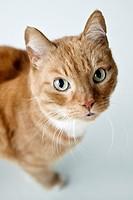 Domestic Cat.