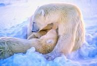 Polar bear nursing cubs, oil painting effect, digital art