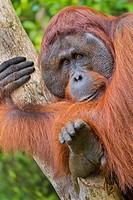 Orangutan, Pongo pygmaeus, Sekonyer River, Tanjung Puting National Park, Kalimantan, Borneo, Indonesia.