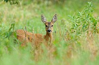 Roe Deer Doe in August, Capreolus capreolus / Ricke im August, Capreolus capreolus