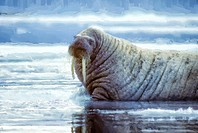 Walrus bull in Canadian High Artic.