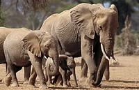 African Elephant, loxodonta africana, Herd in Masai Mara Park, Kenya.