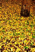 Ginkgo leaves on ground, Osaka Prefecture, Honshu, Japan